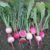 How to Grow Watermelon Radish