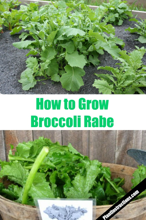 Grow Broccoli Rabe