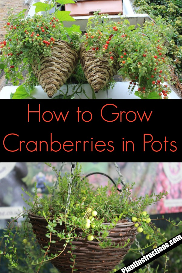The cranberry plant is one of the most interesting plants you can cultivate. In this article, we\'ll talk about how to grow cranberries as well as how to care for them.
