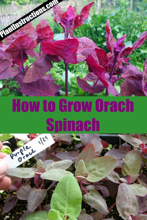 Grow Orach Spinach
