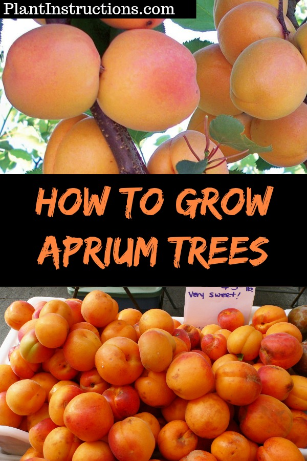 How to Grow Apriums