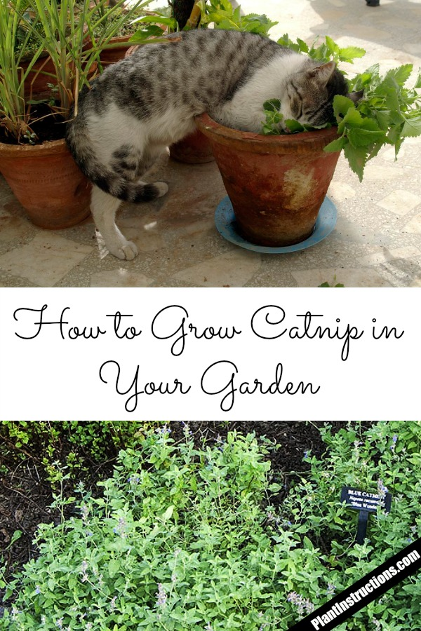 How to Grow Catnip