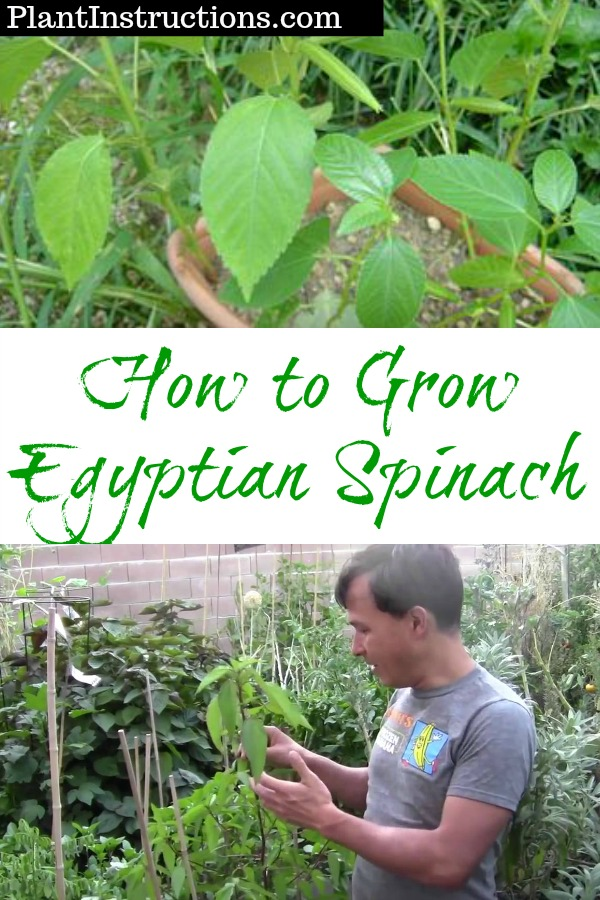 How to Grow Egyptian Spinach