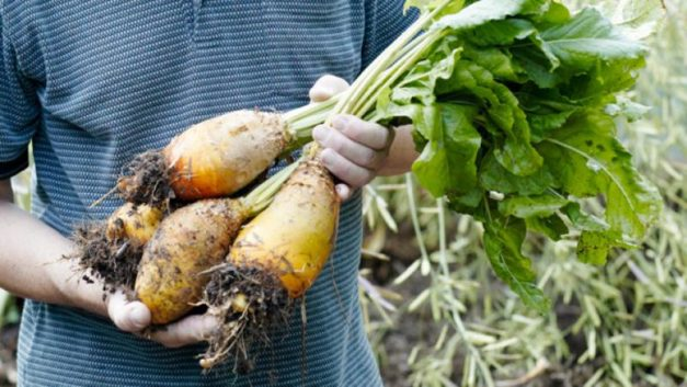 How to Grow Mangold Vegetables