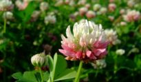 How to Grow Alsike Clover Plants