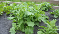 How to Grow Broccoli Rabe