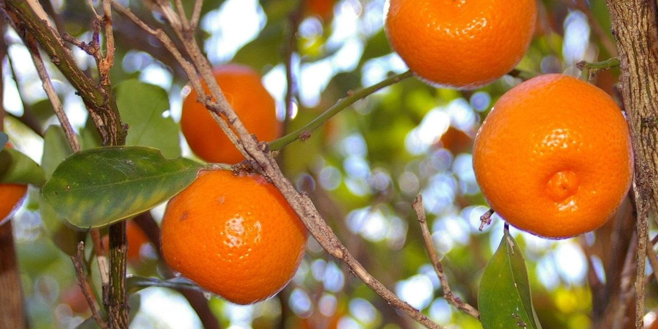 How to Grow Calamondin Trees