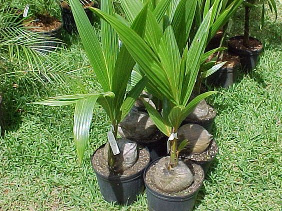 coconut trees in pot