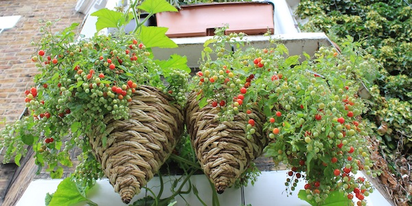 How To Grow Cranberries In Pots Plant Instructions