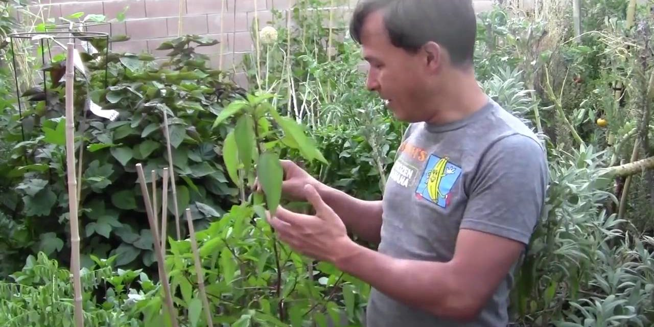 How to Grow Egyptian Spinach AKA Molokhia