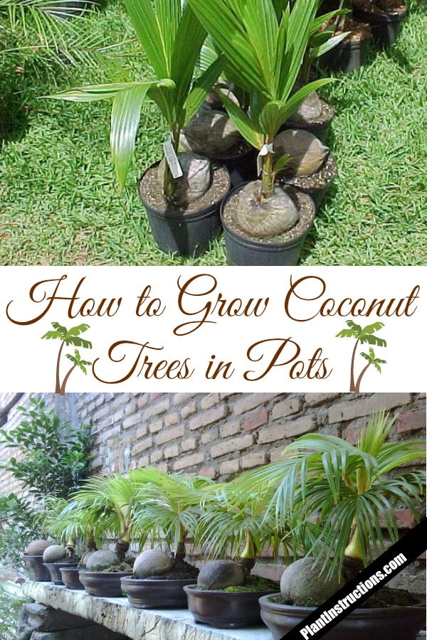 grow coconut trees in pots