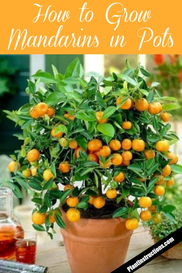grow mandarins in pots