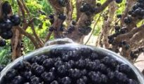 How to Grow Jaboticaba Trees