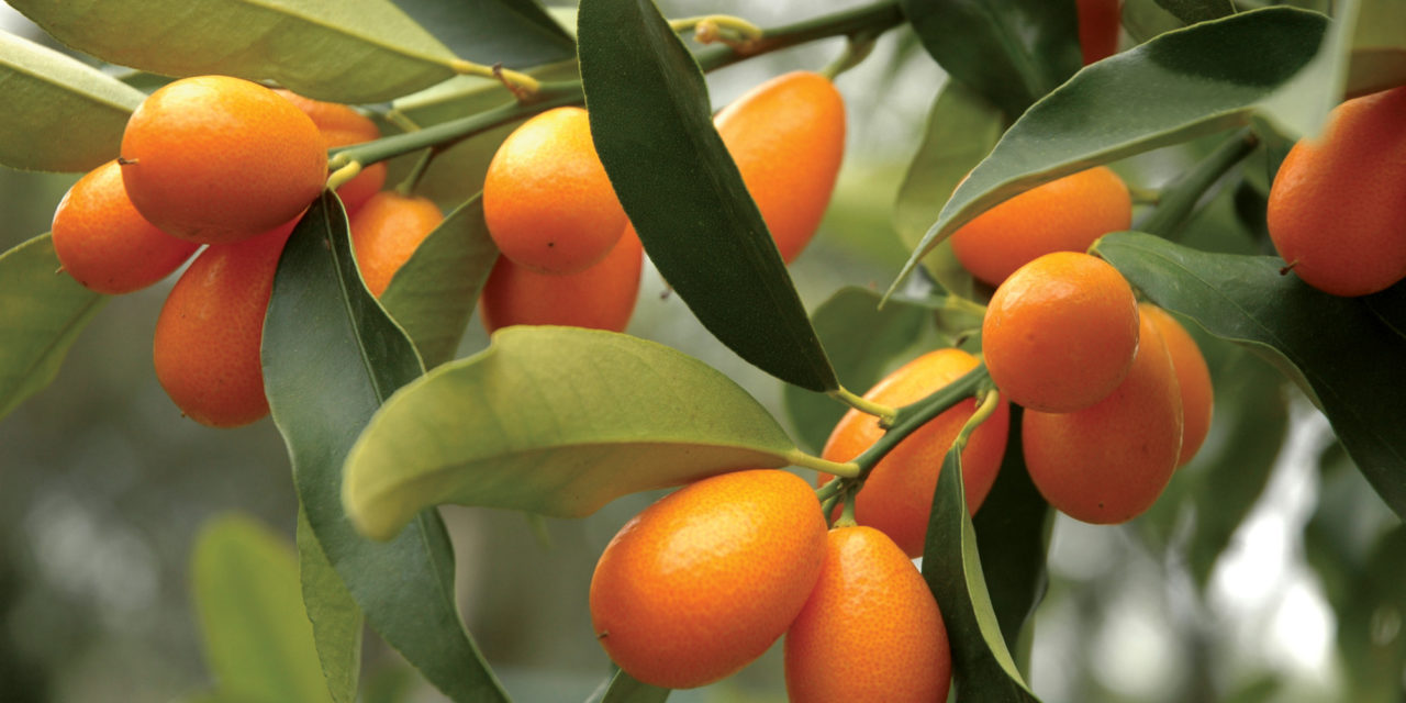 How to Grow Kumquats