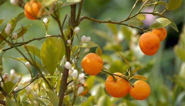 How to Grow Mandarins in Pots