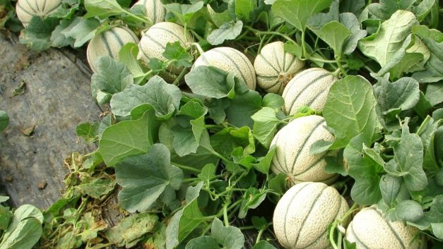 How to Grow Melons In The Garden