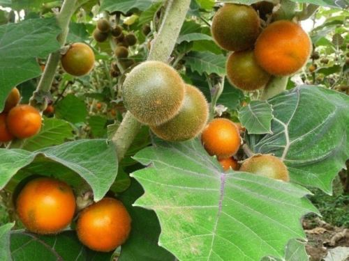 How to Grow Naranjilla Fruit