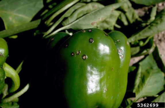 Pepper Black Spot – Why Are There Black Spots on My Peppers?