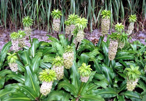 How to Grow Pineapple Lilies in Your Garden