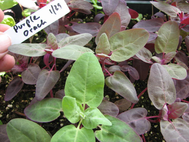 How to Grow Orach Spinach