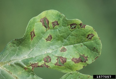 How to Treat Leaf Blight on Watermelon Leaves