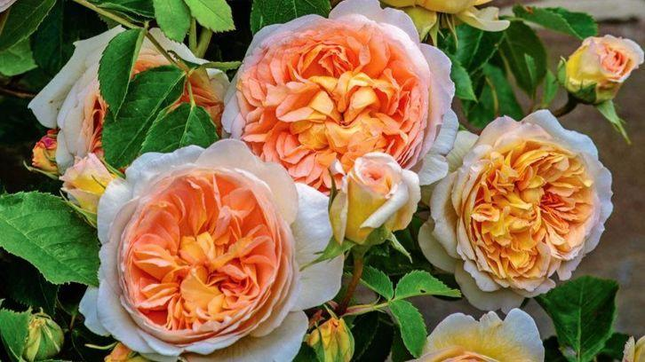 Easiest Roses To Grow: Foolproof Rose Growing Guide