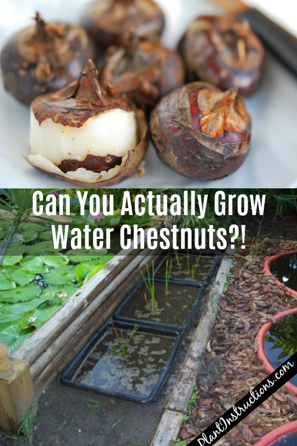 Can You Grow Water Chestnuts