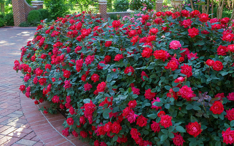 Double Knockout roses