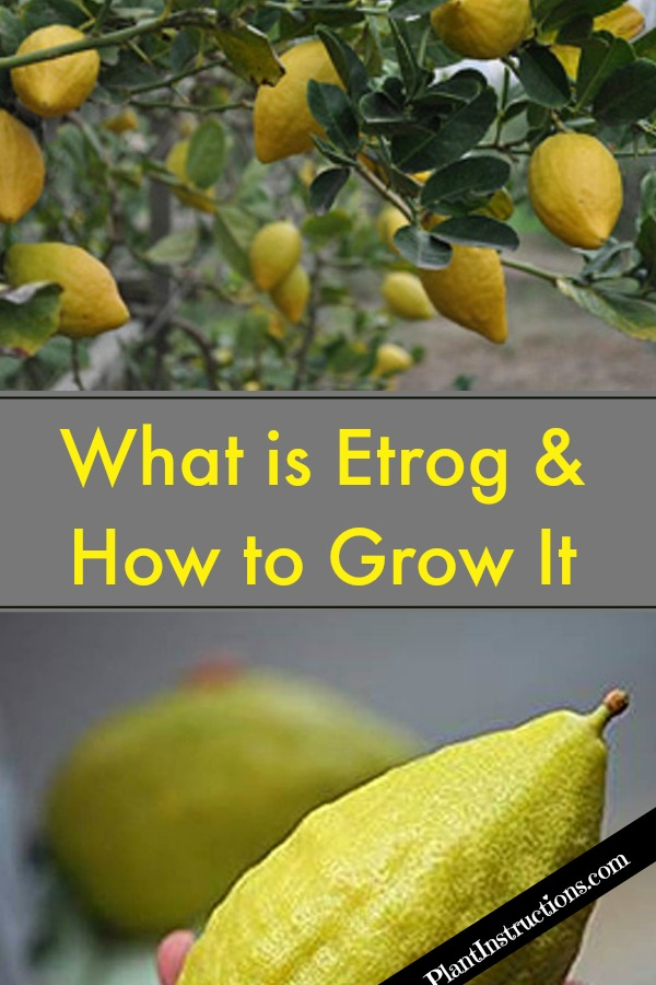 Grow Etrog Citron