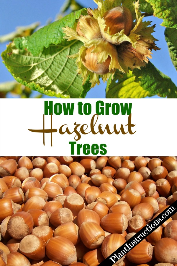 Grow Hazelnut Trees