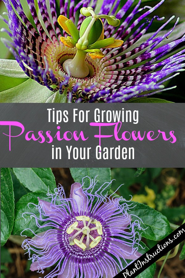 Grow Passion Flowers