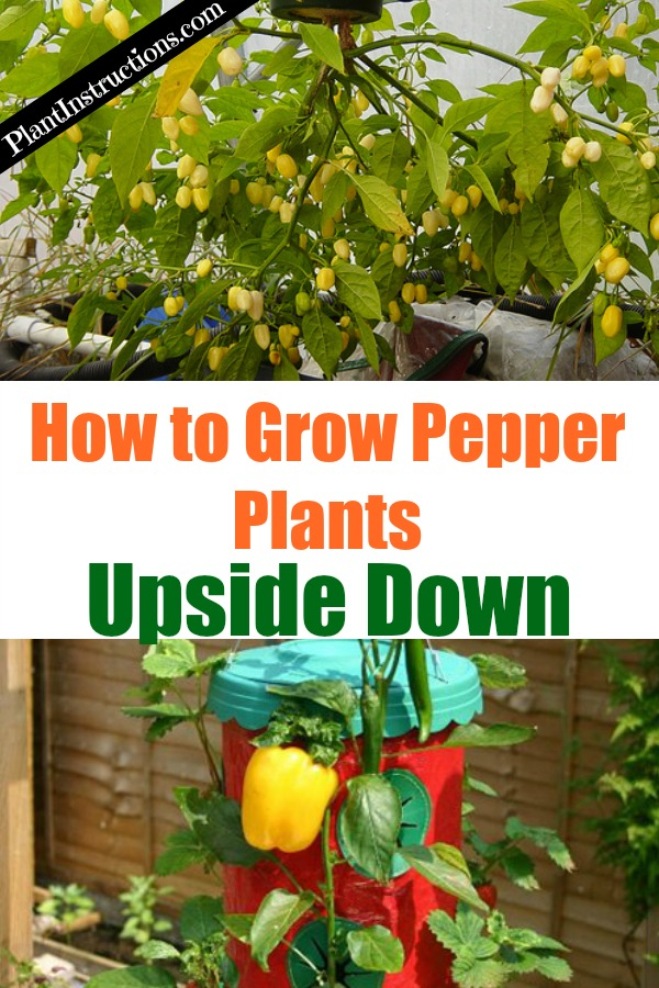 Grow Peppers Upside Down