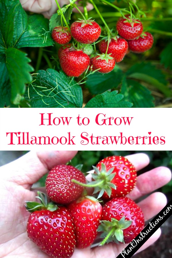 Grow Tillamook Strawberries