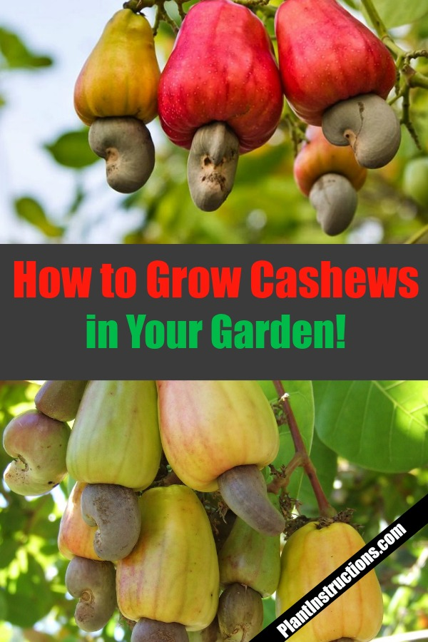 How to Grow Cashew Trees