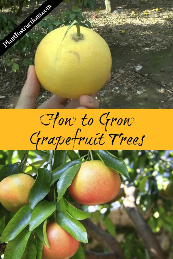 How to Grow Grapefruit Trees