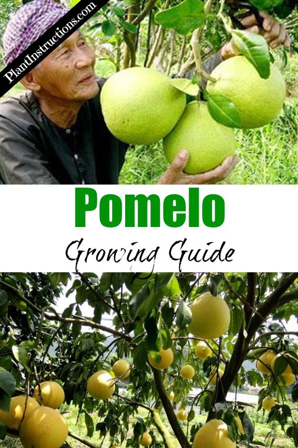 How to Grow Pomelo