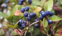 How to Grow Bilberries
