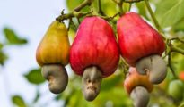 How to Grow Cashew Trees in Your Garden