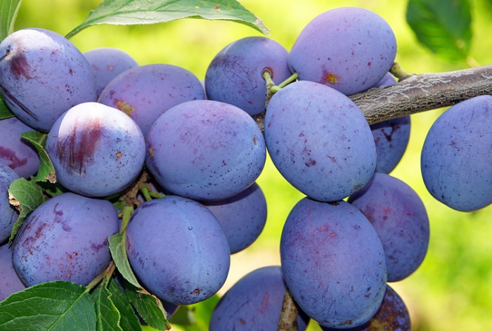 How to Grow Damson Plum Trees