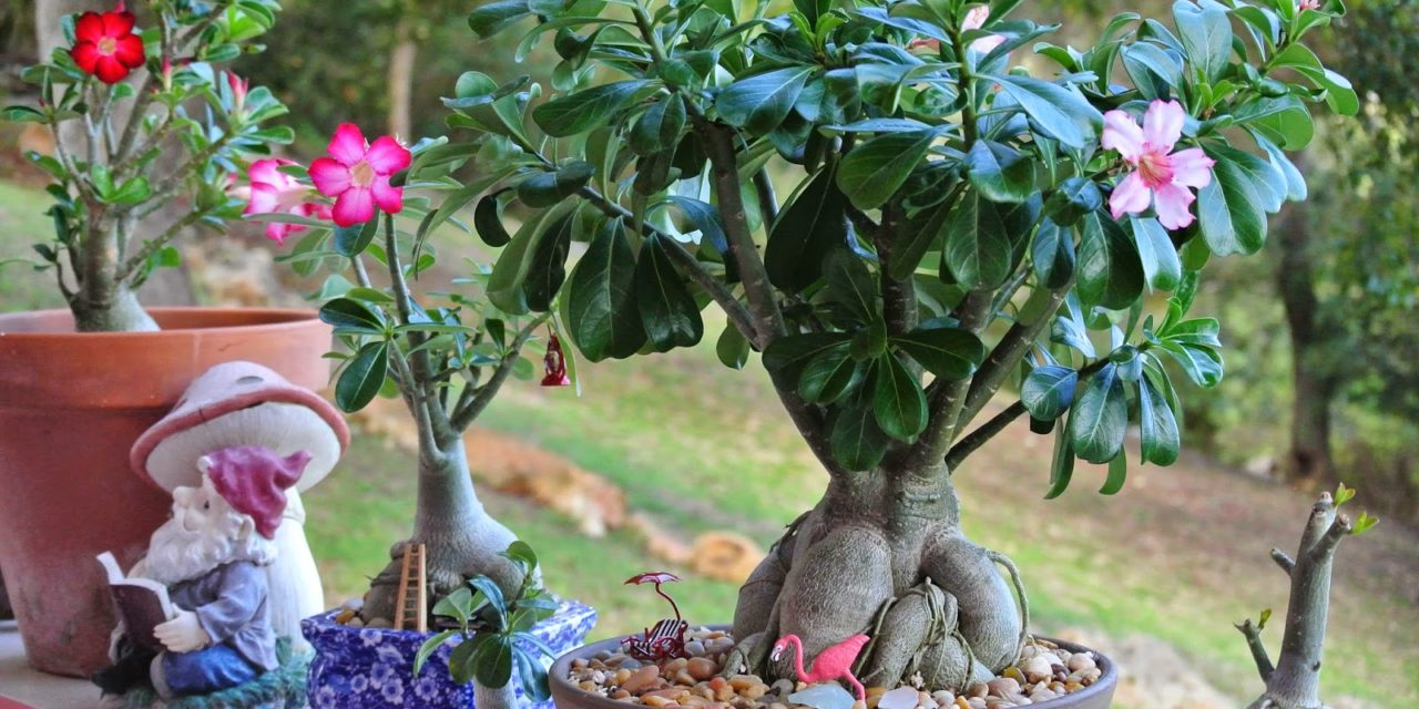 Desert Rose Plants – When & How to Repot Them
