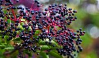 How to Grow Elderberries in Your Garden