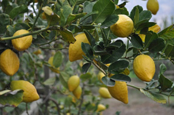How to Grow Etrog Citron