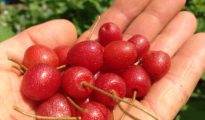 What Are Goumi Berries and How to Grow Them