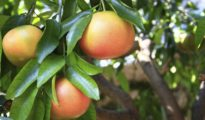 How to Plant Grapefruit Trees