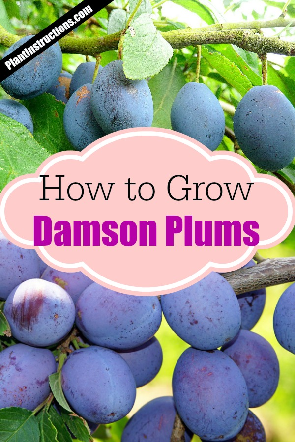 grow damson plum trees