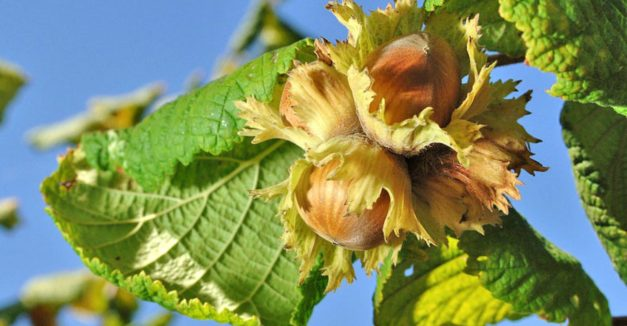 How to Grow Hazelnut Trees