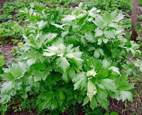 How to Grow Lovage in Pots or in the Garden
