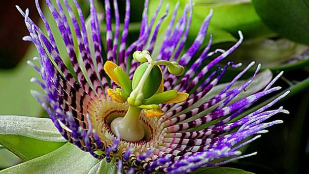 How to Grow Passion Flowers in Your Garden