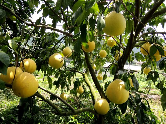 How to Grow Pomelo in Your Garden