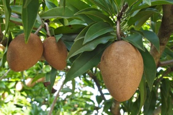 How to Grow Sapodilla AKA Chico Fruit